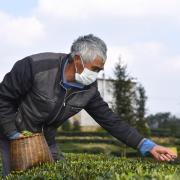 春茶应该怎么选?京东超市告诉你这些关于春茶的冷知识